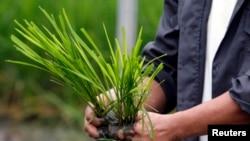 """Một nông dân chuẩn bị gieo mạ giống """"Lúa Vàng"""", đã được biến đổi gen, tại Viện Nghiên cứu Lúa gạo Quốc tế ở phía bắc Manila, Philippines."""