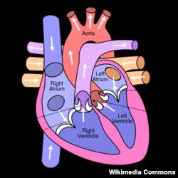 Hình vẽ minh họa tim người (Bấm vào hình để xem bản phóng to).