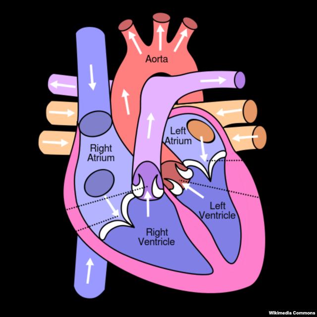 Hình vẽ minh họa tim người, chú thích tiếng anh