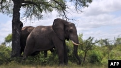 FILE - Two elephants in the Kruger National Park near Nelspruit, South Africa.