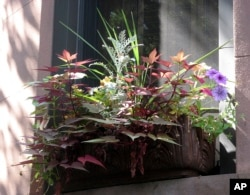 Chose plants with different structures. Place tall plants in the back. This window box is in part shade. (Undated Photo by Brooklyn Botanic Garden via AP)