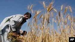 Un agriculteur de blé pakistanais
