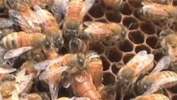 Scientist Working to Save Bees Is Winner of Environmental Prize