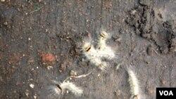 Ulat-ulat bulu seperti ini menyerang tanaman mangga di Probolinggo, Jawa Timur, mengundang keprihatinan warga setempat dan perhatian serius dari pemda setempat.