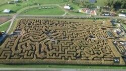 Кукурудзяний лабіринт - одна з найулюбленіших розваг американців восени. Відео