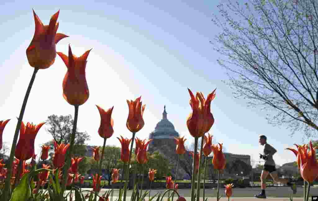 Seorang pria berlari di dekat gedung Capitol di Washington D.C yang dihiasi bunga tulip yang mekar.