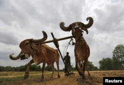 FILE - A farmer uses a pair of oxen to plough his field before sowing rice seeds on the outskirts of Ahmedabad, India, June 11, 2015.