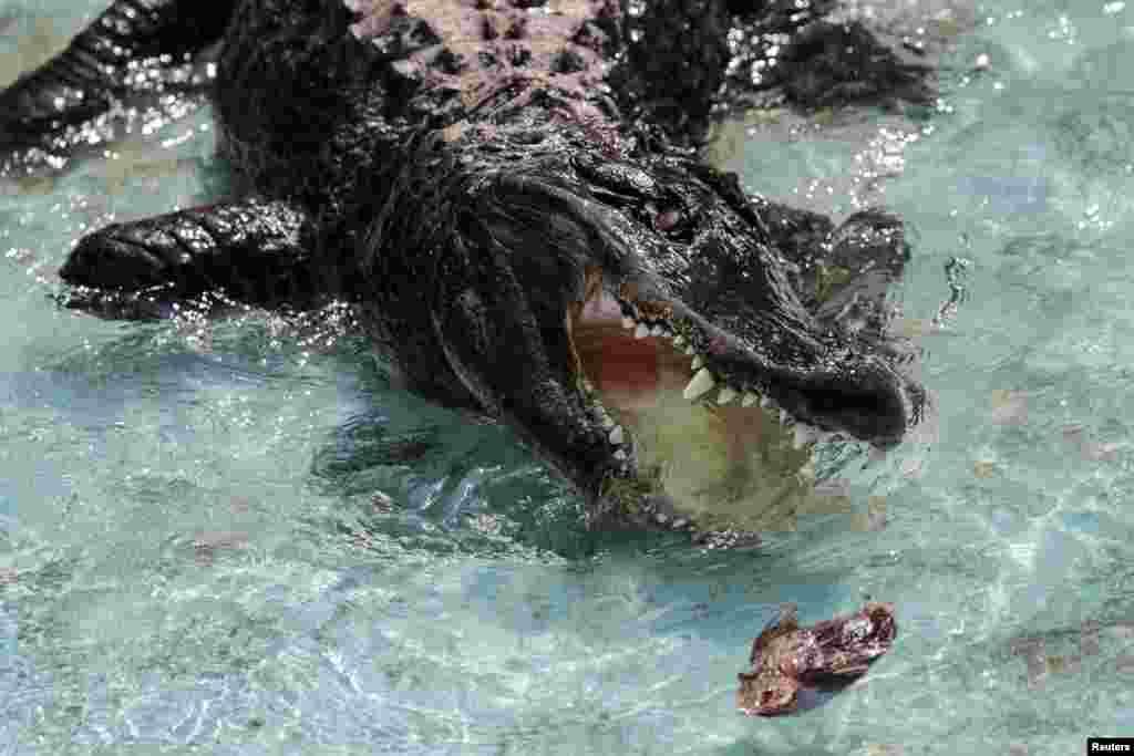 پیرترین تمساح آمریکایی در دنیا به نام موجا که در یک باغ وحش در صربستان از آن نگهداری می شود.