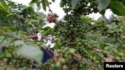 Nancy Njeri, a farmer, inspects coffee cherries at a plantation in Kienjege, northwest of Kenya's capital Nairobi, July 24, 2014.