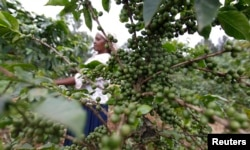 Nancy Njeri, a farmer, inspects coffee cherries at a plantation in Kienjege, northwest of Kenya's capital Nairobi, July 24, 2014.