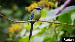 Burung Motmot di Hutan Lindung Manu di Madre de Dios, Amazon, Peru.
