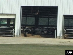 饲养场每座中型仓房里有数百头牲畜