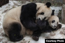 Bai Yun & Xiao Liwu at the San Diego Zoo, California. (Courtesy of San Diego Zoo)