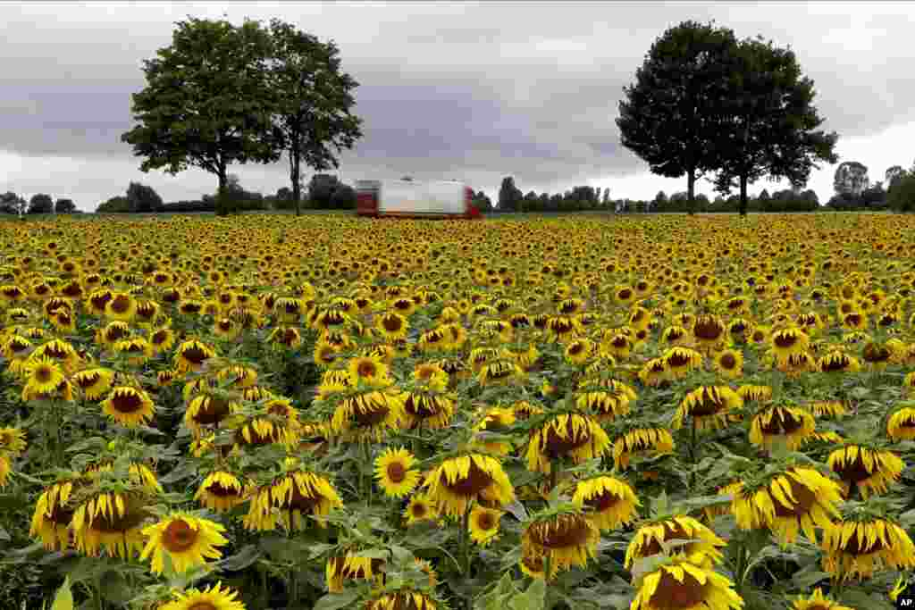 Blooming sunflowers stand in a field under dark clouds near Odelzhausen, southern Germany.