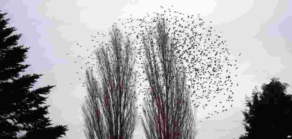 Hundreds of birds swarm around the trees in Mesen, Belgium.