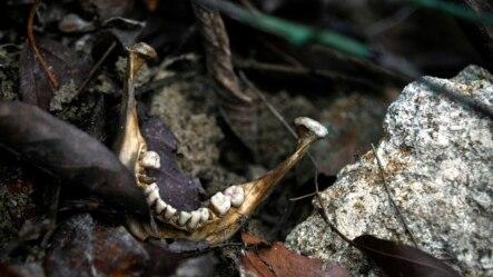Hàm răng người trong một nấm mộ được phát hiện gần biên giới Thái Lan-Malaysia.