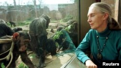 FILE - Jane Goodall, chimpanzee researcher and naturalist, observes through glass some of Taronga Zoo's 25-member chimpanzee colony in Sydney, Aug. 31, 1997.