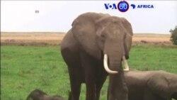 Manchetes Africanas 19 Agosto: Tanzânia com táctica criativa para afastar elefantes