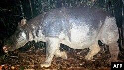 ແຮດຊະວາ ຫຼື Javan rhino ຊຶ່ງເປັນສັດພື້ນເມືອງຂອງຫວຽດນາມທີ່ປະກາດວ່າໄດ້ສູນພັນໄປແລ້ວໃນປີ 2011