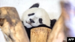 FILE - A one-year-old panda Fu Bao born to Yang Yang takes a nap at the top of a tree at the end of the visitors hours at Schoenbrunn Zoo in Vienna, Austria, Aug. 27, 2014.