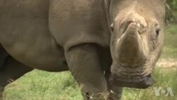 世界最后一头雄性北方白犀牛健康堪忧