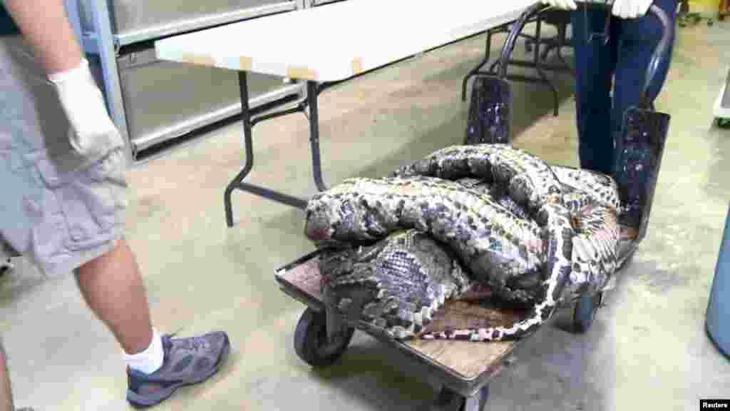 La pitón birmana fue llevada al Museo de Historia Natural de Florida.