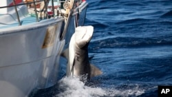 In this photo released by Sea Shepherd, a male tiger shark hangs tied up on a fishing boat off Moses Rock on the Western Australian coast.