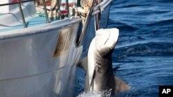 Des estimations chiffrent le manque à gagner de la pêche illégale à entre 15 et 25 milliards de dollars par an (photo Sea Sheperd)