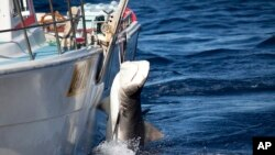 In this photo released by Sea Shepherd, a male tiger shark hangs tied up on a fishing boat off Moses Rock on the Western Australian coast, Feb. 22, 2014.