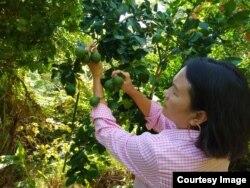 Elina Sihombing sibuk merawat tanaman jeruk purut di lahan seluas hampir satu hektar (foto: courtesy).