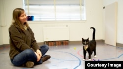 A cat displays secure attachment behavior with researcher Kristyn Vitale in the Human-Animal Interaction Lab at Oregon State University. (Photo: Oregon State University)