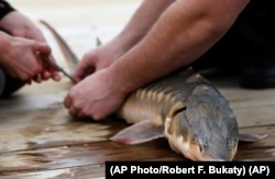 An endangered shortnose sturgeon is fitted with a microchip on the Saco River in Biddeford, Maine. The fish was measured, tagged and released by students at the U. of New England.