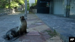 In this May 2, 2020 photo, a sea lion sits outside a hotel that is closed because of the new coronavirus pandemic, in San Cristobal, Galapagos Islands, Ecuador. (AP Photo/Adrian Vasquez)