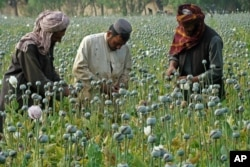FILE - Afghan farmers harvest opium in Helmand province, in April 2014.