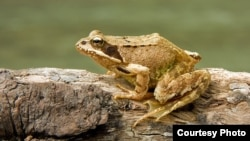 Scientists have discovered that different species of frogs produce potent cocktails of antibiotics. (Richard Bartz)
