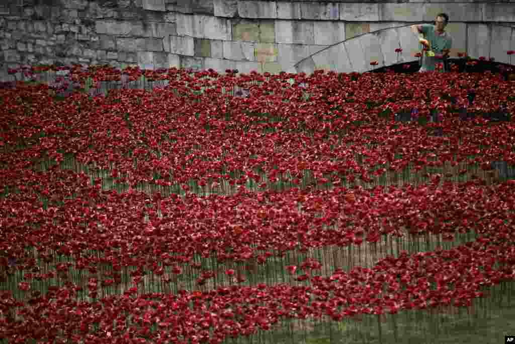 "Ceramic poppies are placed as part of an art installation in the dry moat of the Tower of London. The installation of 888,246 ceramic poppies by ceramic artist Paul Cummins, entitled ""Blood Swept Lands and Seas of Read"" will be unveiled on Aug. 5 to mark the centenary of World War I."