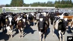 Gado bovino, Nova Zelândia.