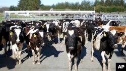 Sapi-sapi bertanggung jawab atas peningkatan suhu bumi, karena proses pencernaannya menghasilkan gas methan, gas rumah kaca yang sangat kuat. (Foto: ilustrasi)