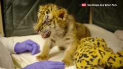 Motherless Tiger Cubs Brought Together at San Diego Zoo