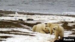 Beruang-beruang kutub di pesisir Laut Beaufort di wilayah Arktik.