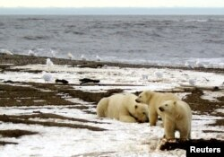 FILE - A polar bear sow and two cubs are seen on the Beaufort Sea coast within the 1002 Area of the Arctic National Wildlife Refuge in this undated handout photo provided by the U.S. Fish and Wildlife Service Alaska Image Library, Dec. 21, 2005.
