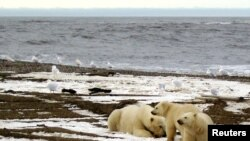 FILE - A polar bear sow and two cubs are seen on the Beaufort Sea coast within the 1002 Area of the Arctic National Wildlife Refuge in this undated handout photo provided by the U.S. Fish and Wildlife Service Alaska Image Library on December 21, 2005.