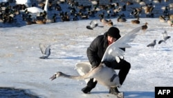 An ornithologist catches a swan on Lake Drozdy near the Belarus capital Minsk, on January 23, 2014, to ring the bird for its future identification.