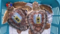 Sea Turtles' 'Lost Years' Uncovered (VOA On Assignment Apr. 4, 2014)
