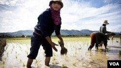 Petani Thailand sedang menanam padi di kota Mae Sariang, Thailand utara (foto:dok).