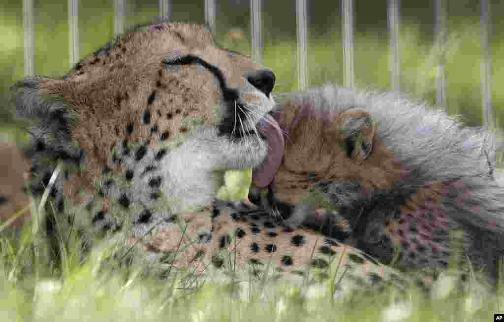One of the newly born cheetah quintuplets is licked by its mother Savannah in their enclosure at the zoo in Prague, Czech Republic.