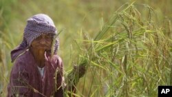 A Cambodian farmer harvests rice during the rice harvesting season in Trapaing Mean village on the outskirts of Phnom Penh, Cambodia, Friday, Nov. 18, 2016. (AP Photo/Heng Sinith)