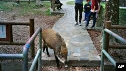 Seekor babi hutan tampak mengais-ngais makanan sementara warga lokal mengamati di Country Park, Hong Kong, 13 Januari 2019 (foto: AP Photo/Vincent Yu)