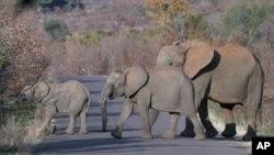 Những con voi ở Nam Phi.