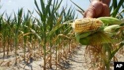 Perubahan iklim berdampak pada merosotnya panen jagung di Amerika (foto: ilustrasi).